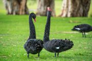 A Black Swan Event Explained